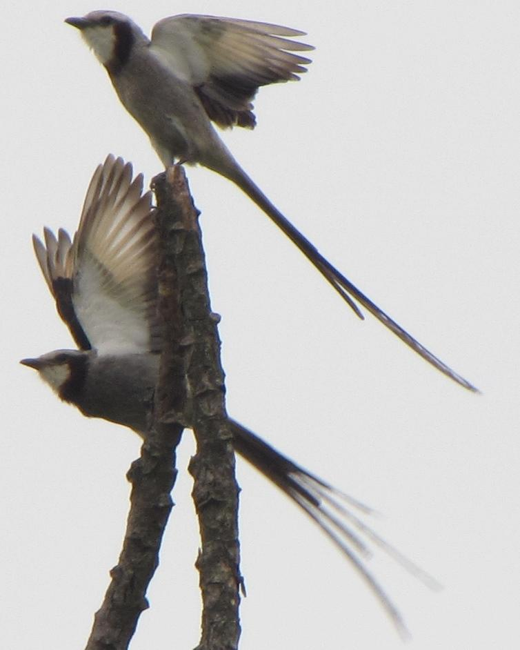 Streamer-tailed Tyrant Photo by Kent Fiala