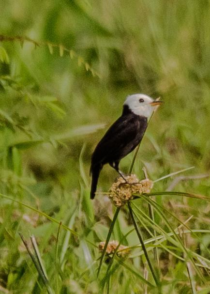 White-headed Marsh Tyrant Photo by Keshava Mysore