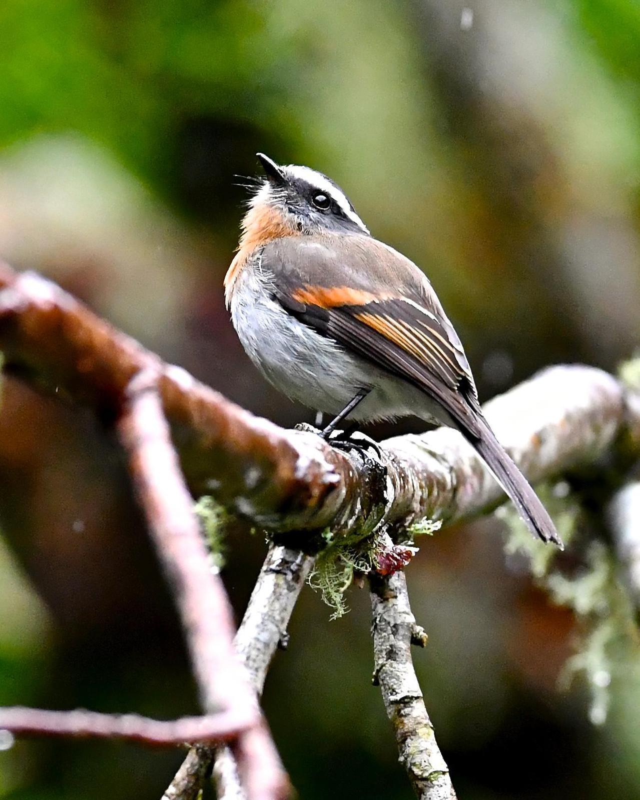 Rufous-breasted Chat-Tyrant Photo by Gerald Friesen