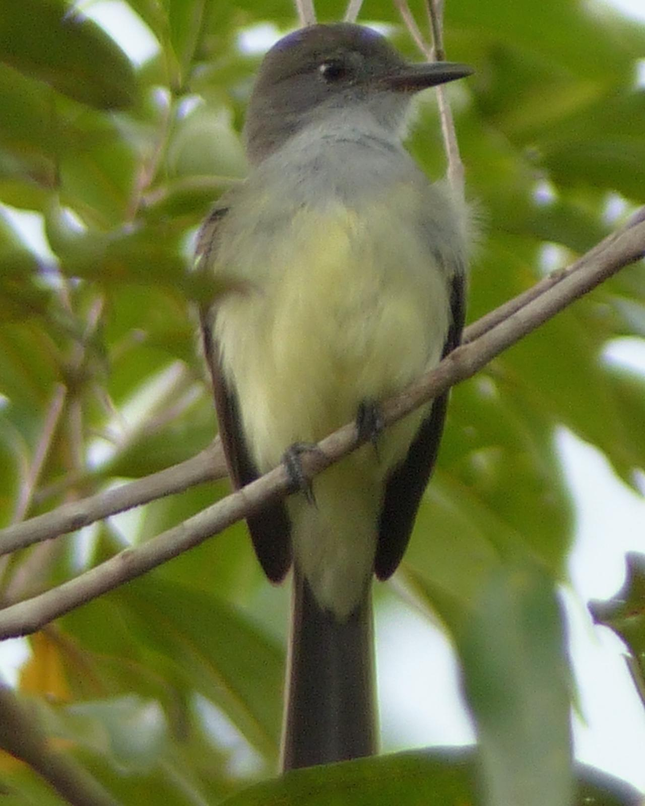 Short-crested Flycatcher Photo by David Bell
