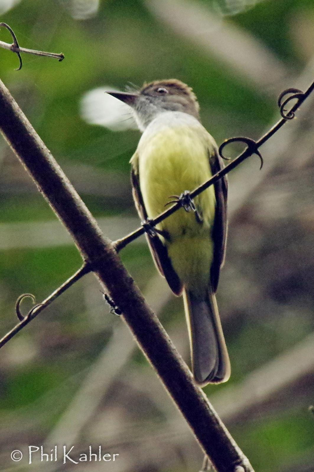 Short-crested Flycatcher Photo by Phil Kahler