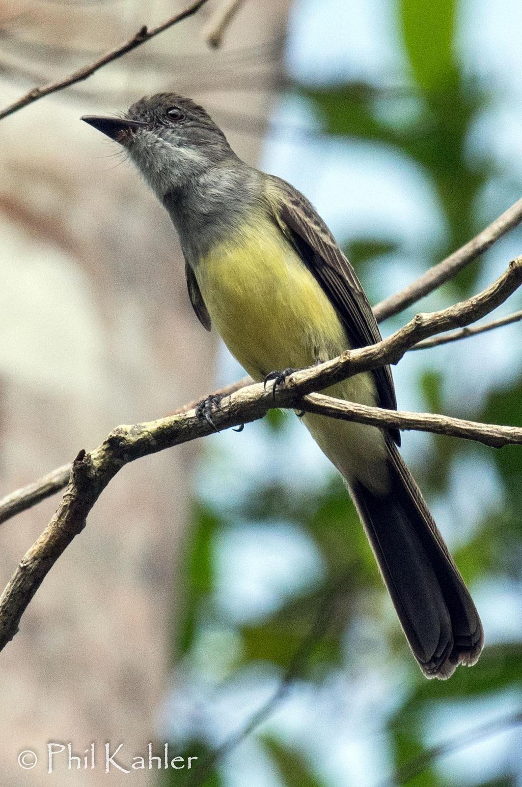 Short-crested Flycatcher Photo by Phil Kahler