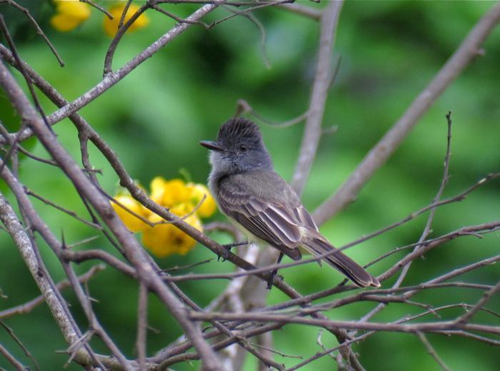Sooty-crowned Flycatcher Photo by Andre  Moncrieff