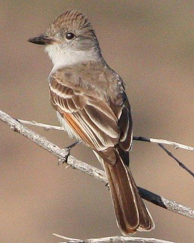 Ash-throated Flycatcher Photo by Andrew Core