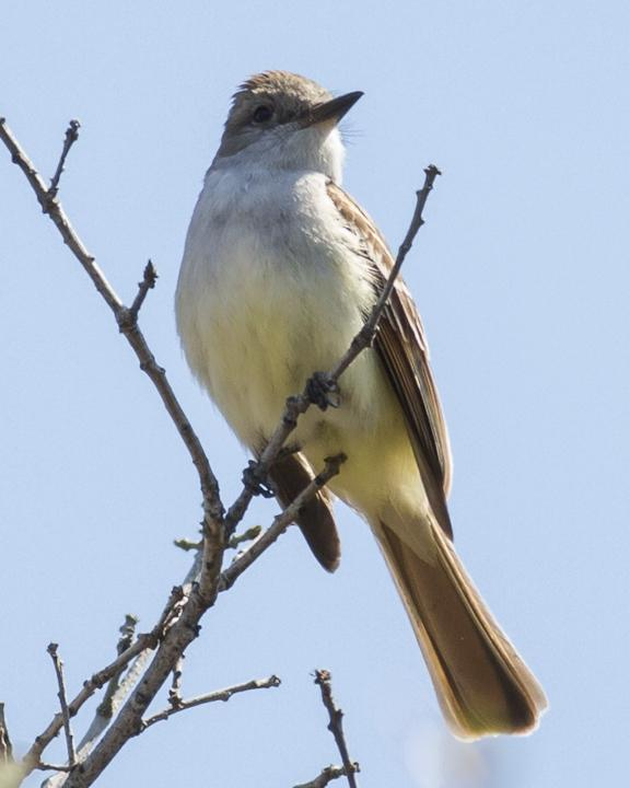Ash-throated Flycatcher Photo by Anthony Gliozzo