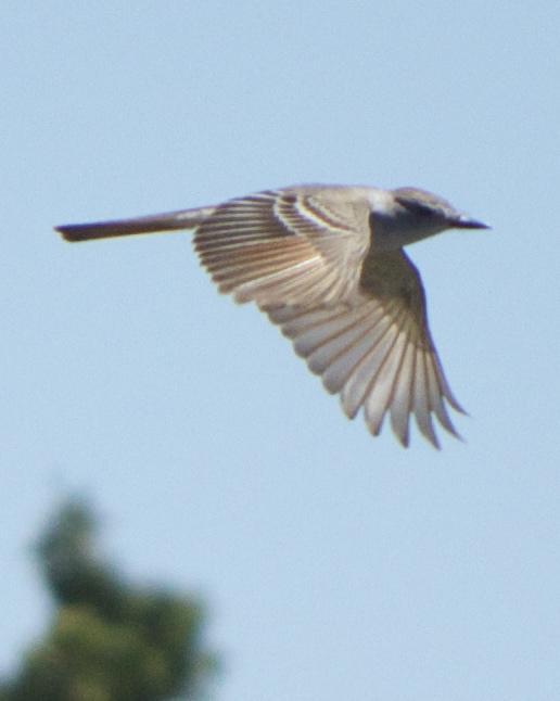 Ash-throated Flycatcher Photo by Mark Baldwin