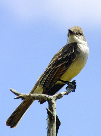 Ash-throated Flycatcher Photo by Dan Tallman