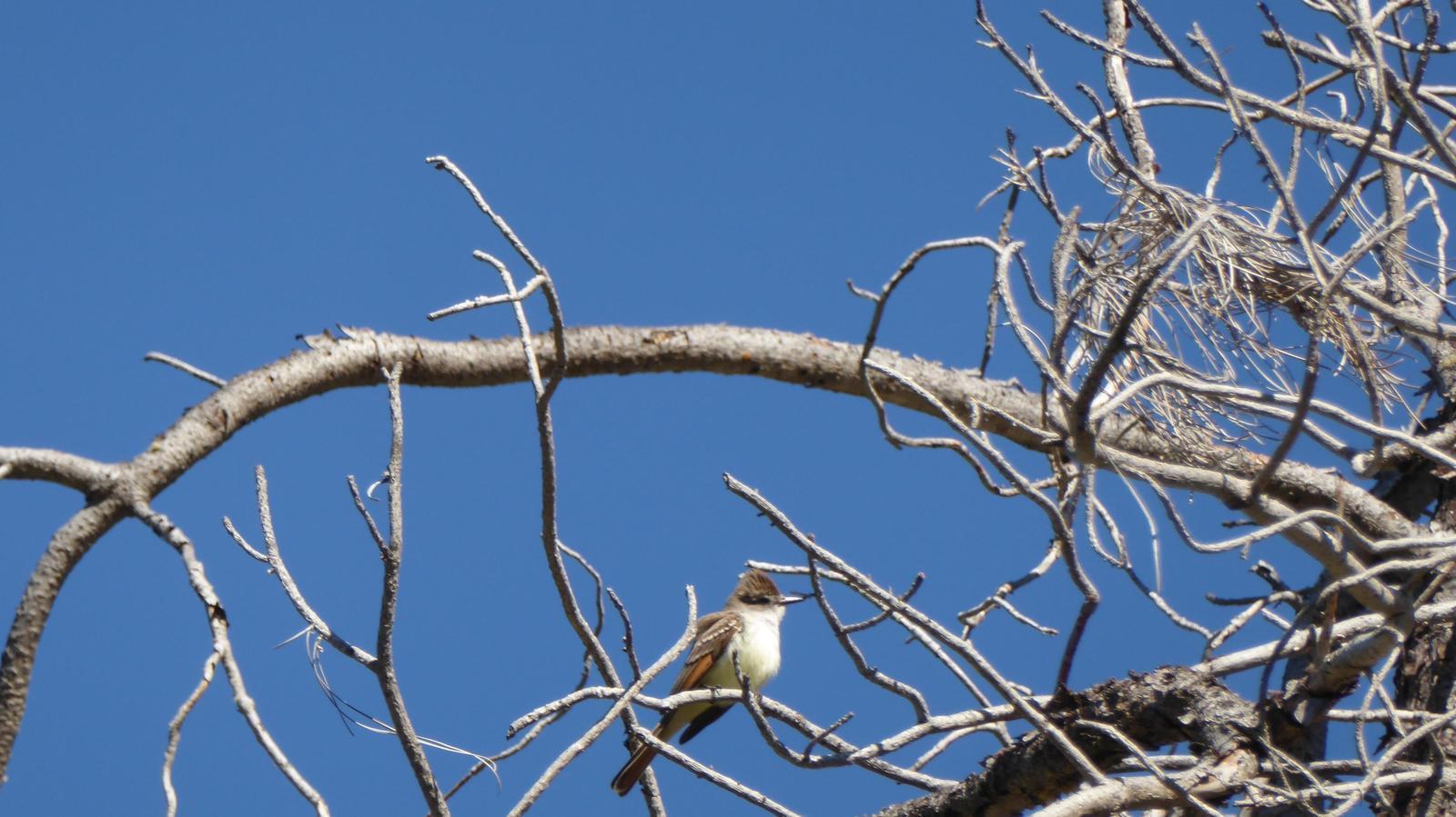 Ash-throated Flycatcher Photo by Daliel Leite