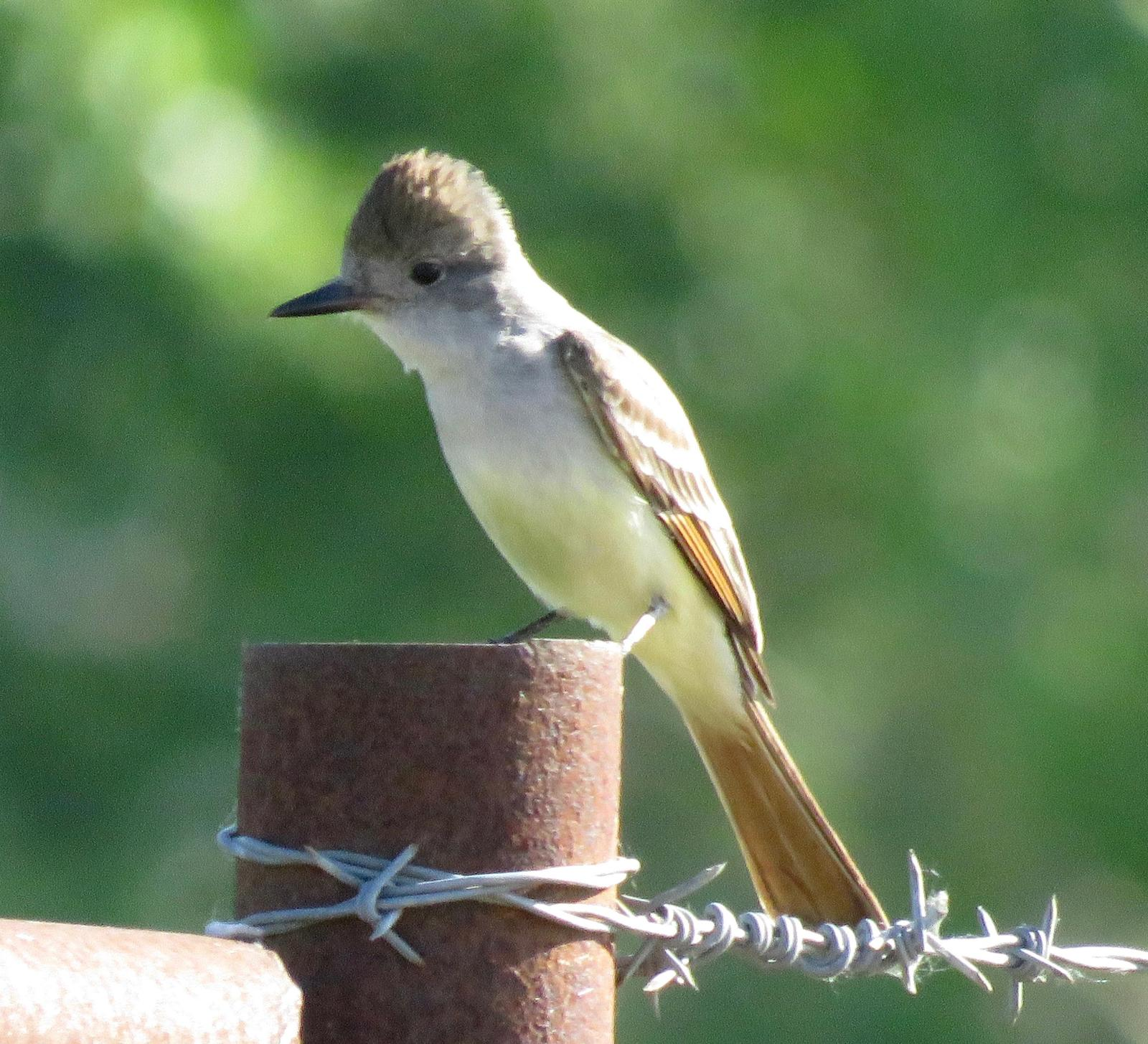 Ash-throated Flycatcher Photo by Don Glasco