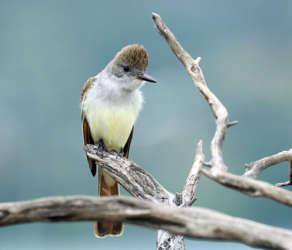 Ash-throated Flycatcher Photo by Vicki Miller