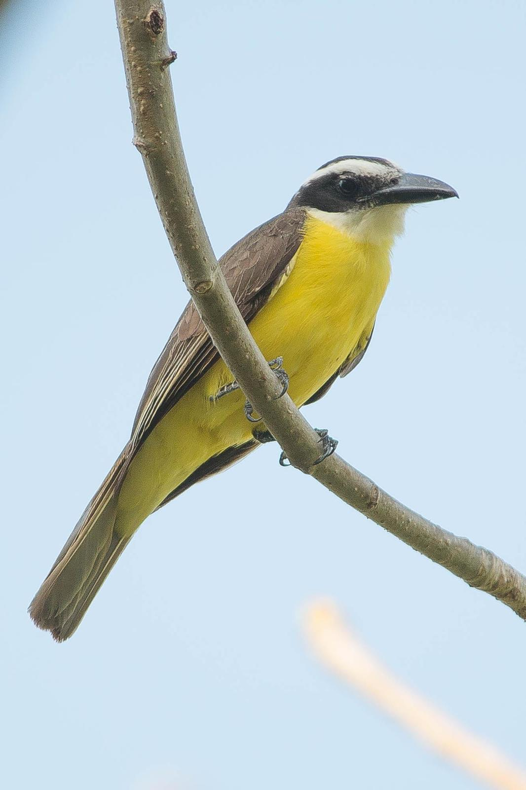 Boat-billed Flycatcher Photo by Marie-France Rivard