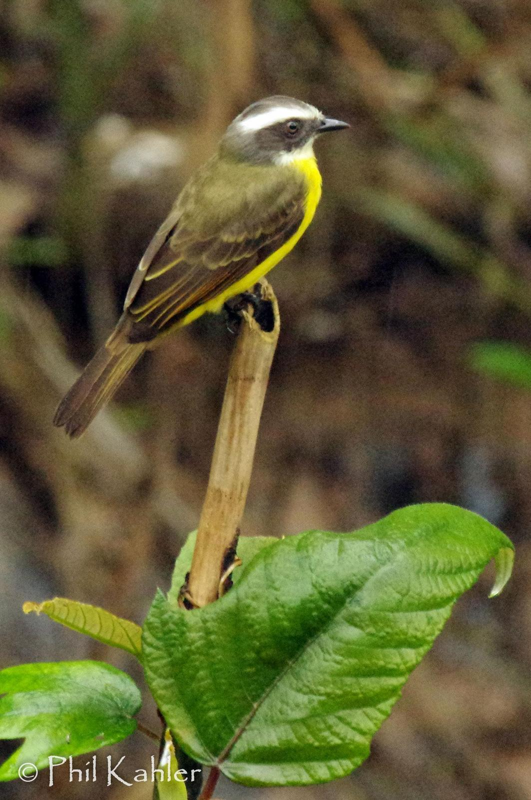 Social Flycatcher Photo by Phil Kahler