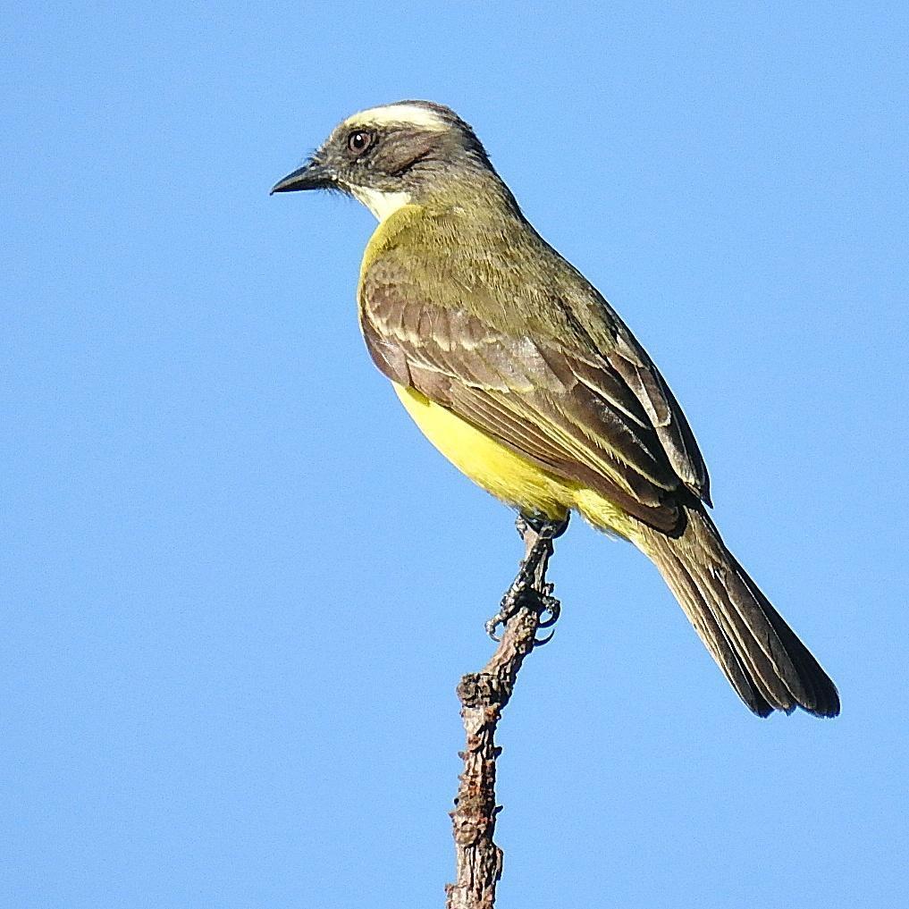 Social Flycatcher Photo by Julio Delgado