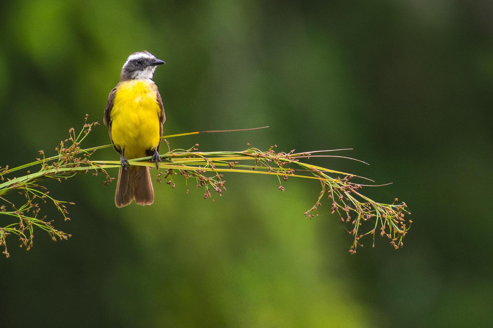 Social Flycatcher Photo by Adam Jackson
