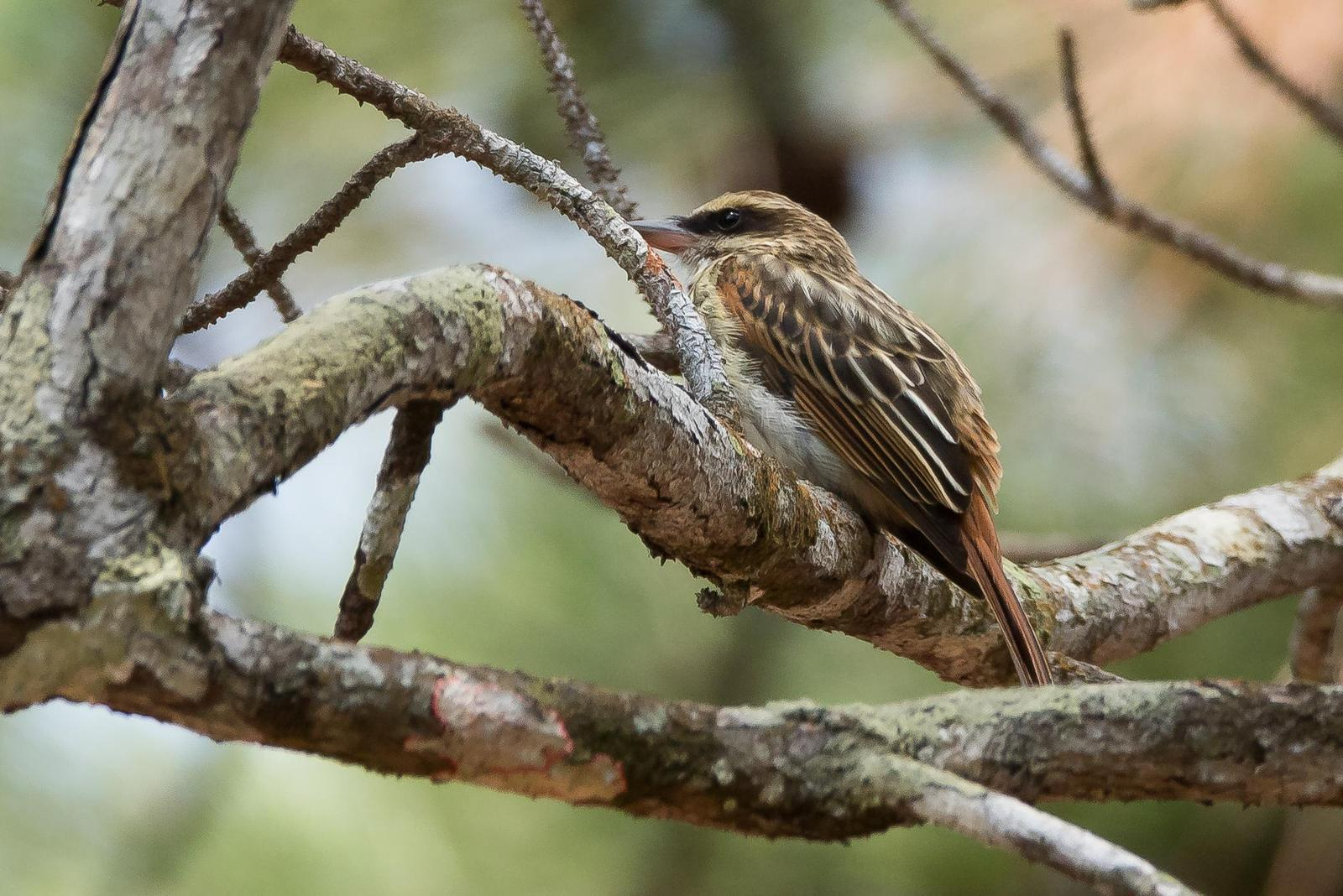 Streaked Flycatcher Photo by Gerald Hoekstra