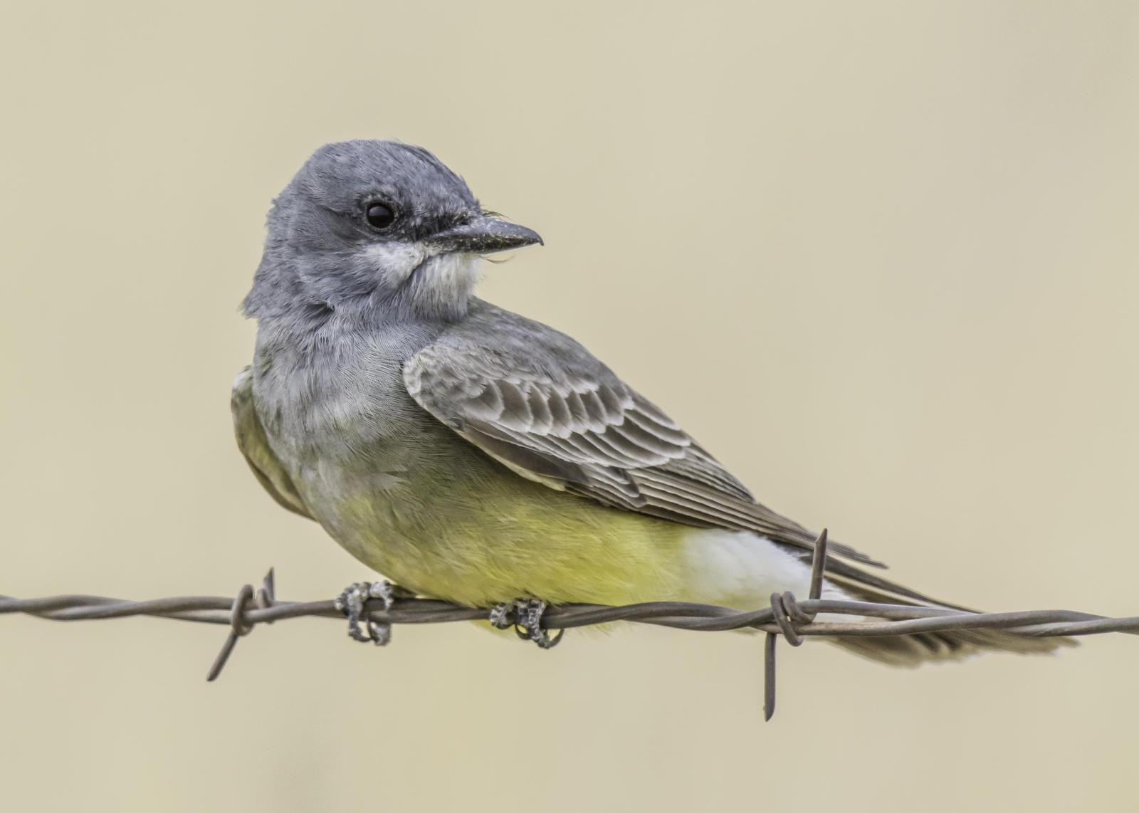 Cassin's Kingbird Photo by Mason Rose