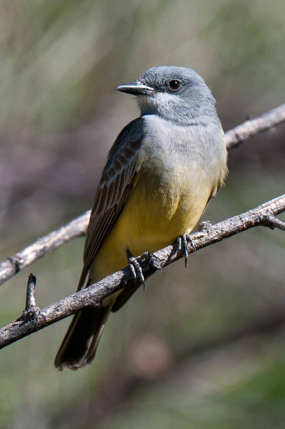 Cassin's Kingbird Photo by Mason Rose
