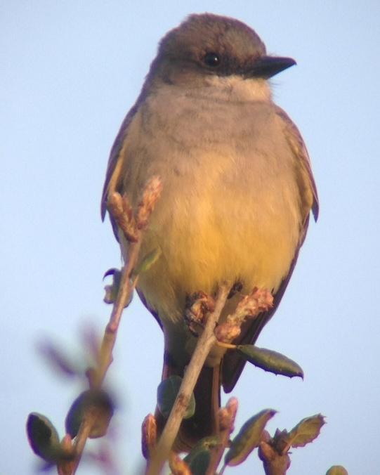 Cassin's Kingbird Photo by Bonnie Clarfield-Bylin