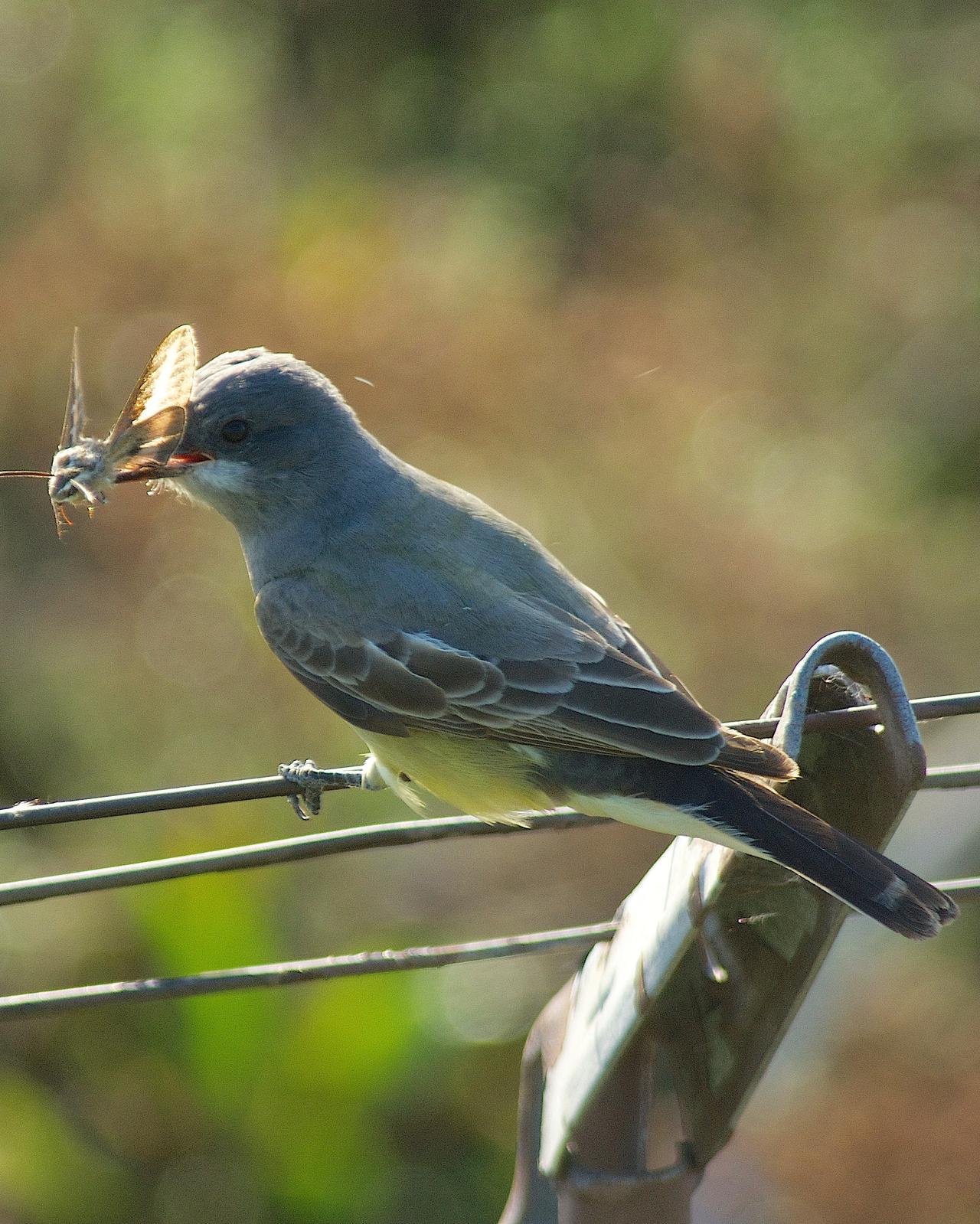 Cassin's Kingbird Photo by Gerald Hoekstra