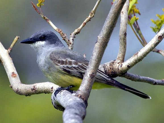 Cassin's Kingbird Photo by Dan Tallman