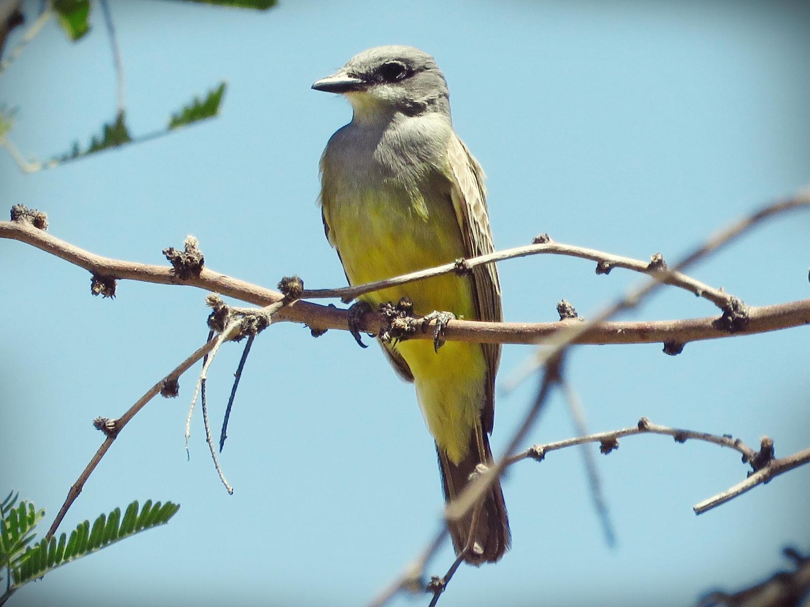 Cassin's Kingbird Photo by Bob Neugebauer
