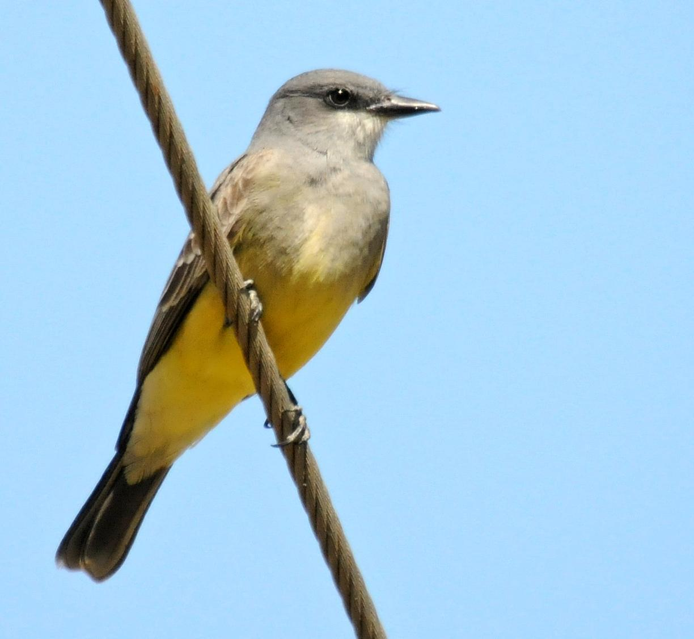 Cassin's Kingbird Photo by Steven Mlodinow