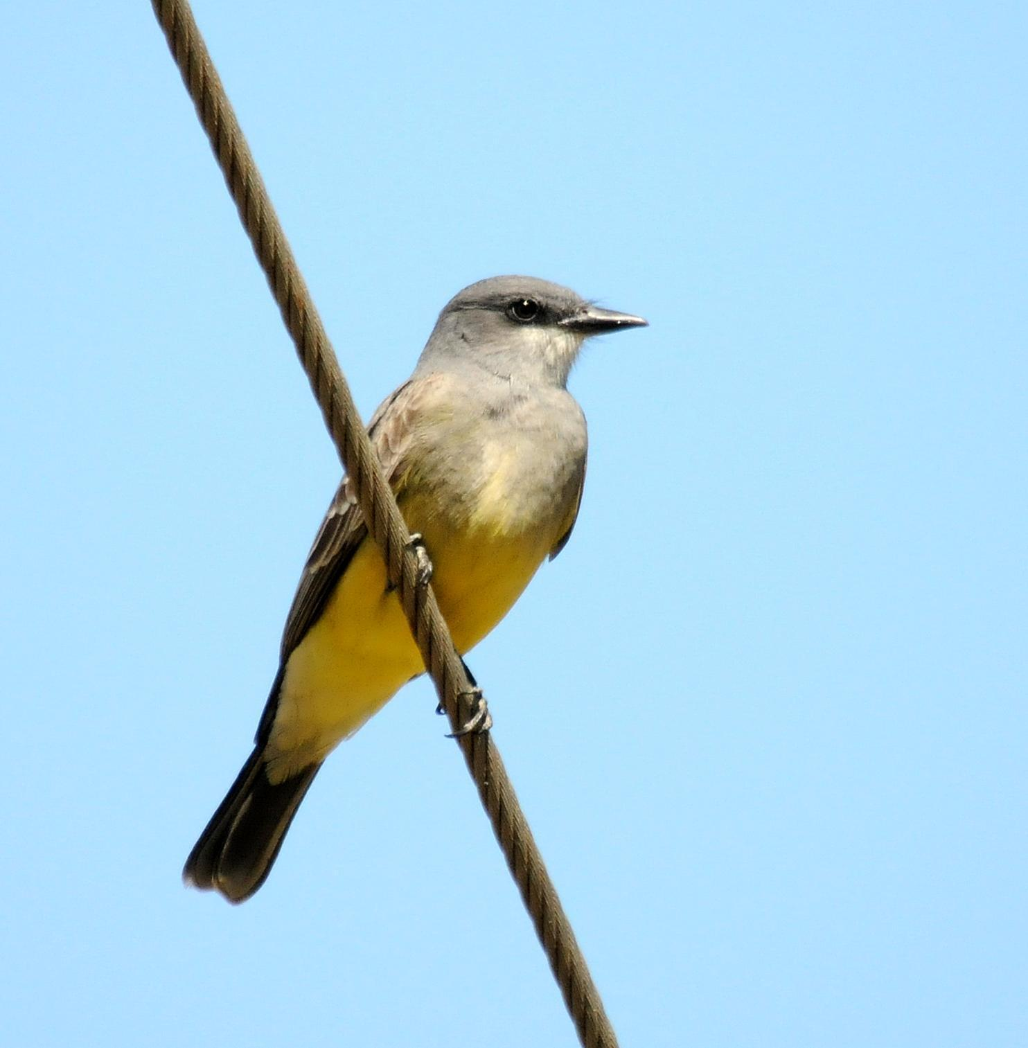 Cassin's Kingbird Photo by Steven Mlodinow