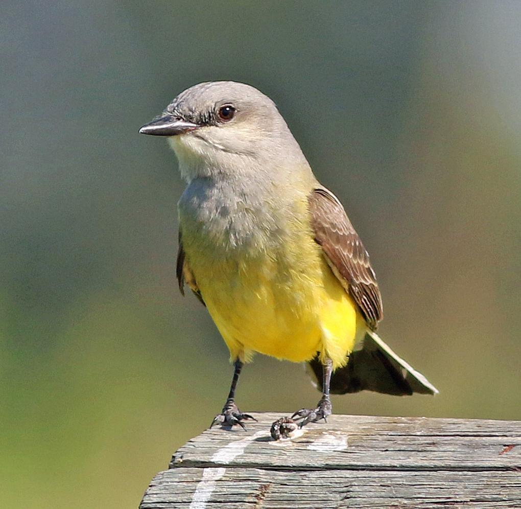 Western Kingbird Photo by Tom Gannon