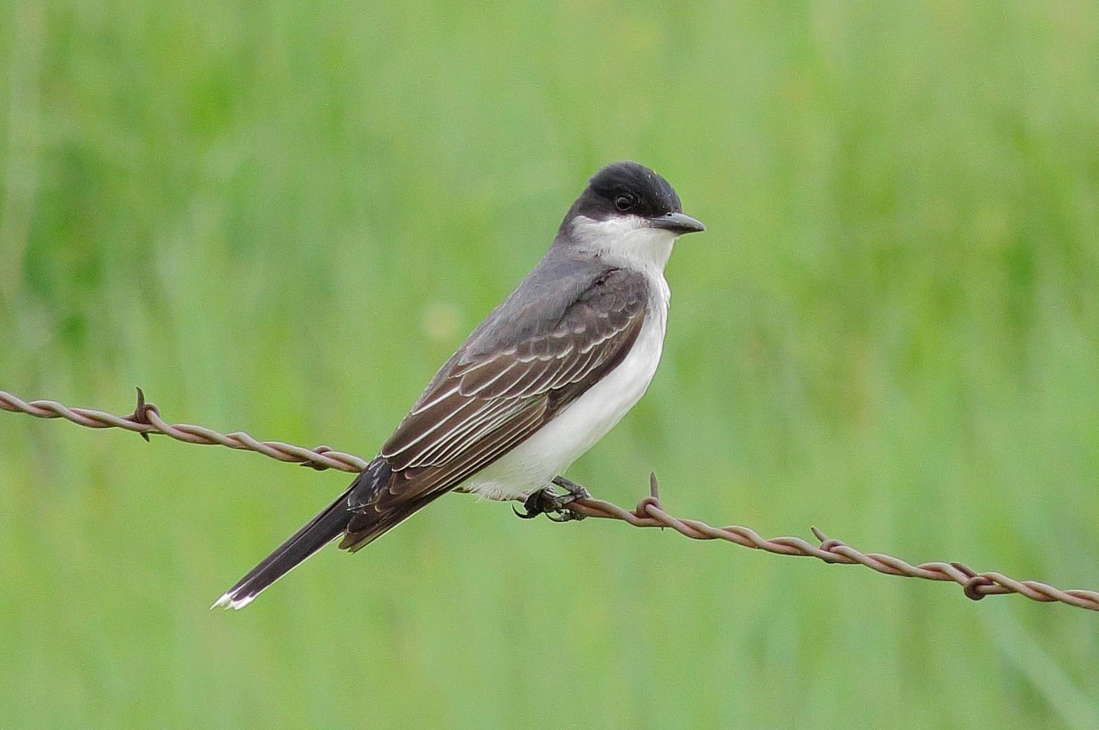 Eastern Kingbird Photo by Kent Jensen
