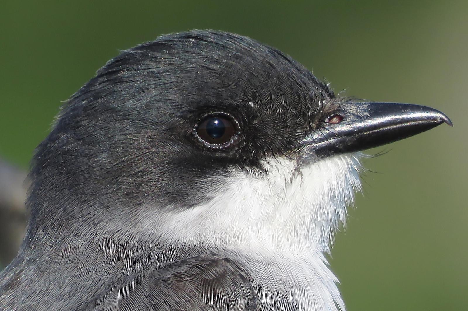 Eastern Kingbird Photo by Bob Neugebauer