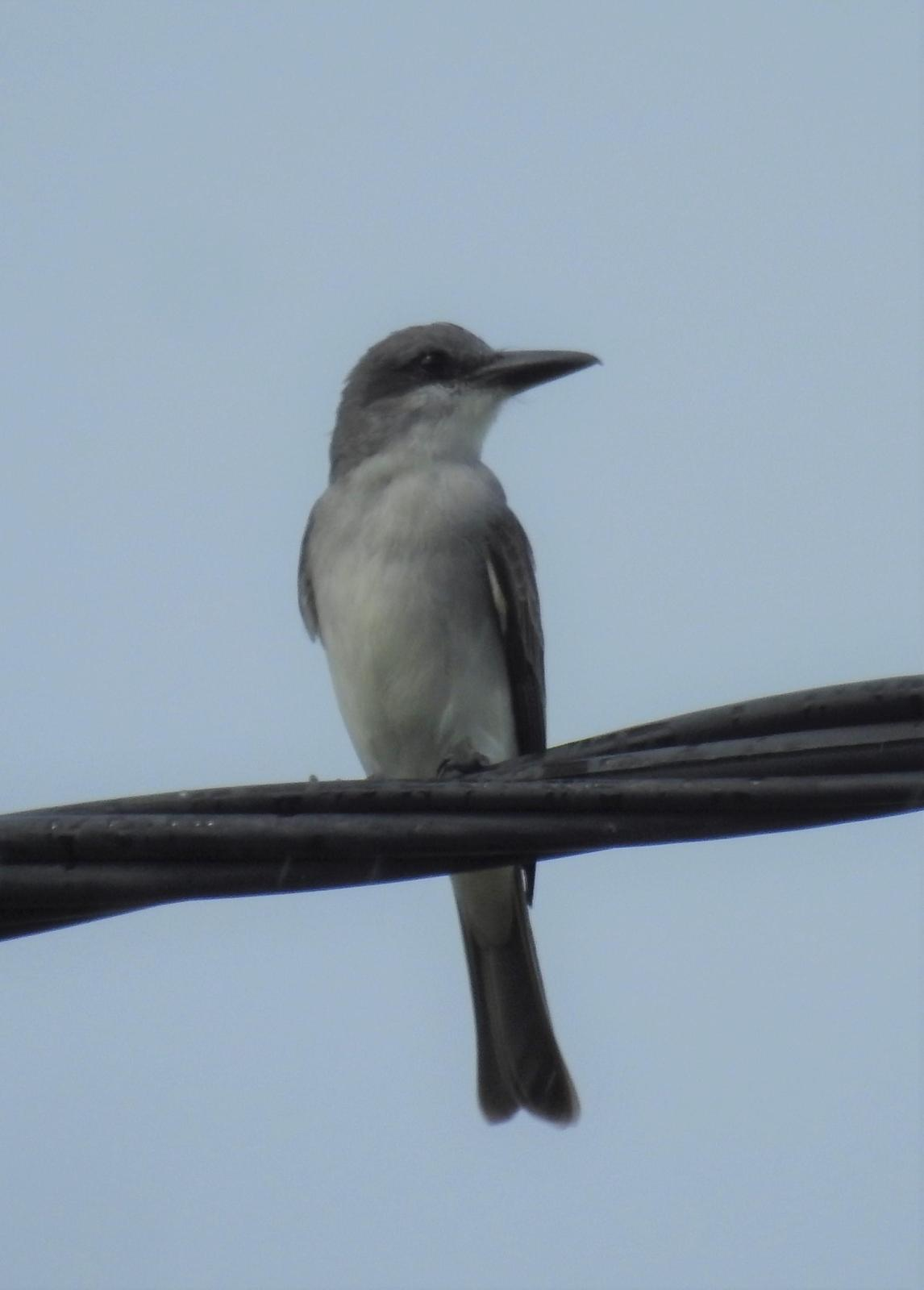 Gray Kingbird Photo by John Licharson
