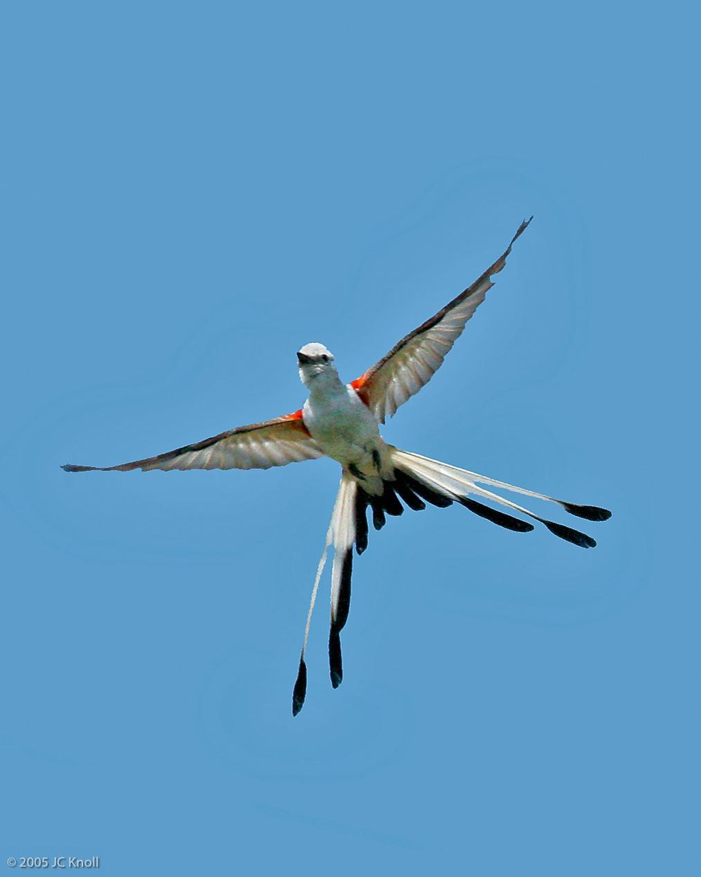 Scissor-tailed Flycatcher Photo by JC Knoll
