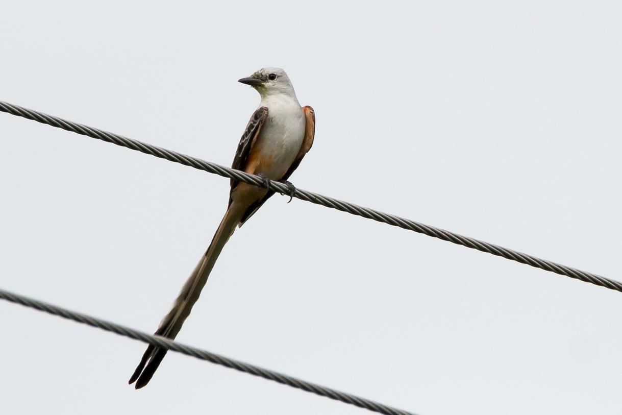 Scissor-tailed Flycatcher Photo by Gerald Hoekstra