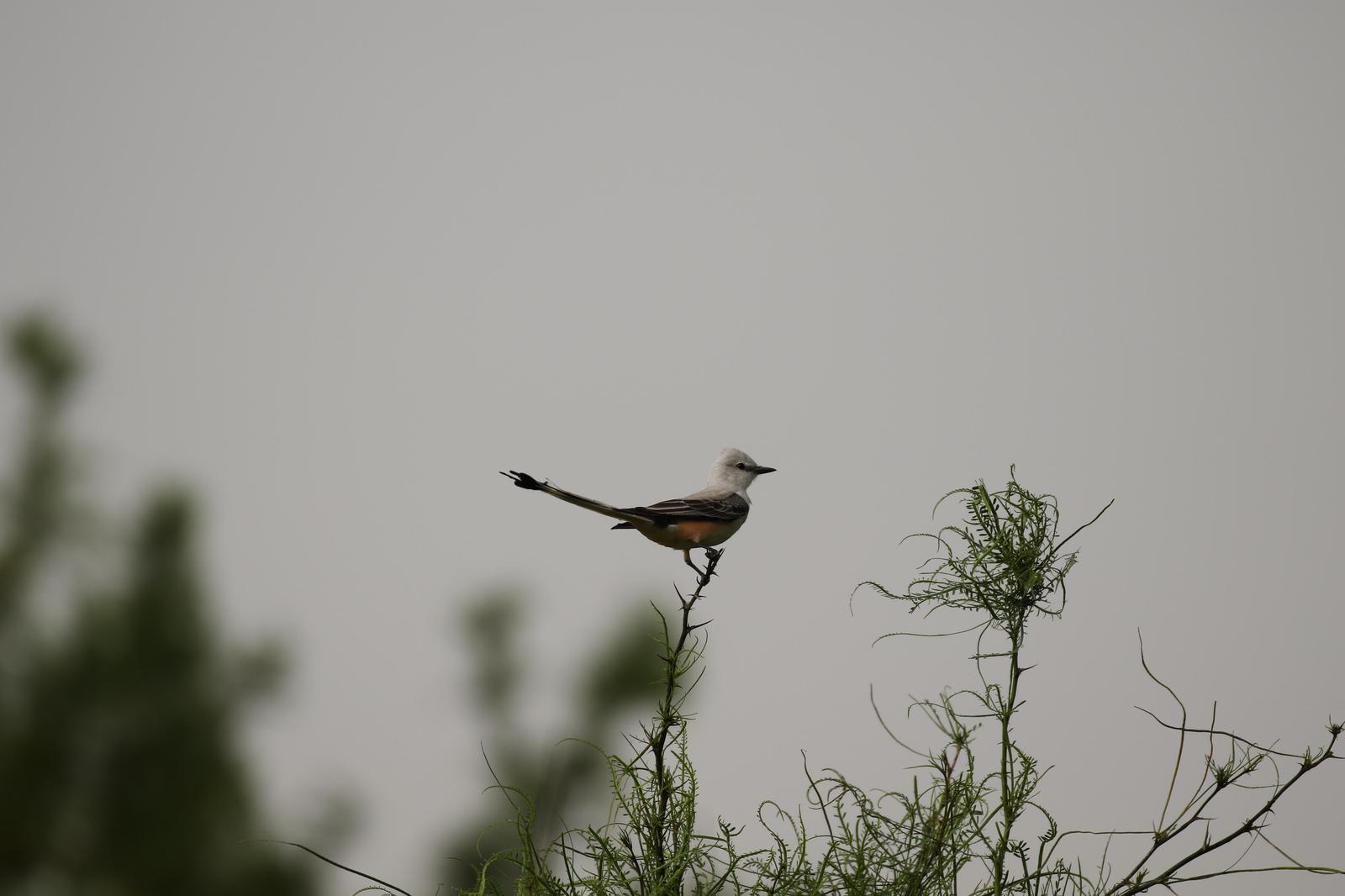 Scissor-tailed Flycatcher Photo by Kristy Baker
