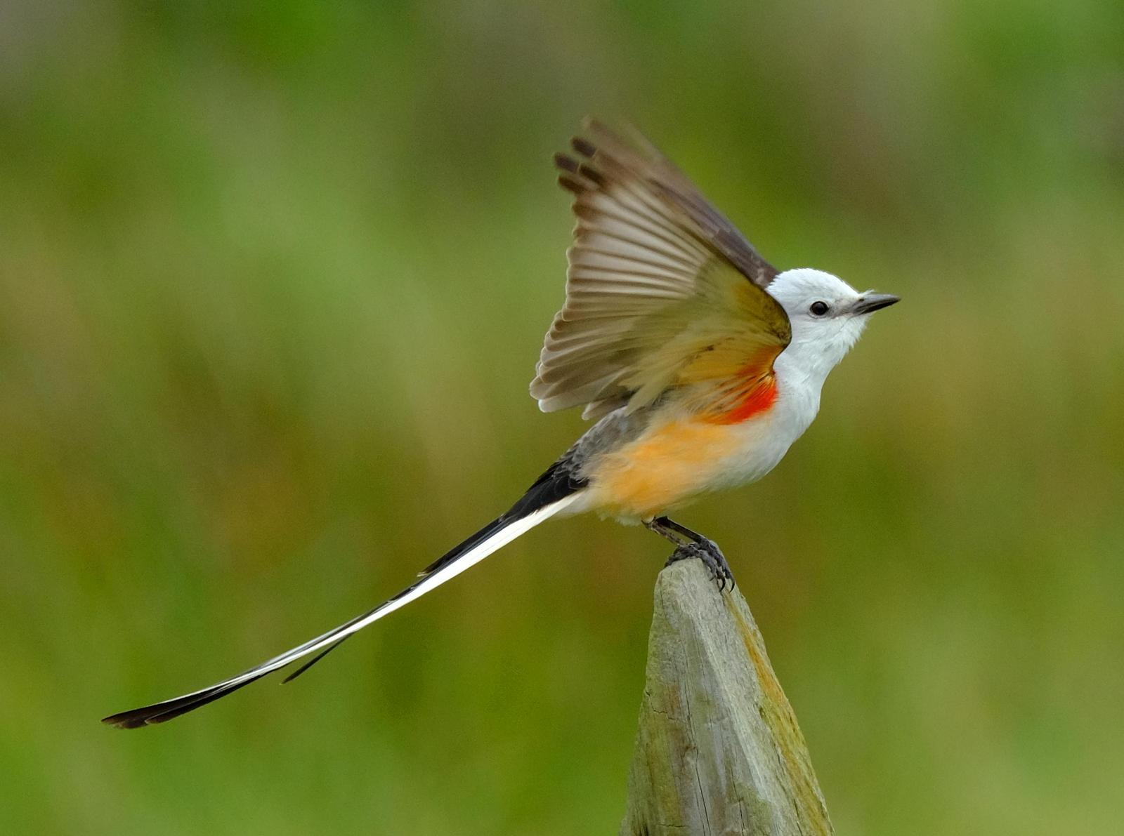 Scissor-tailed Flycatcher Photo by Dave Zittin