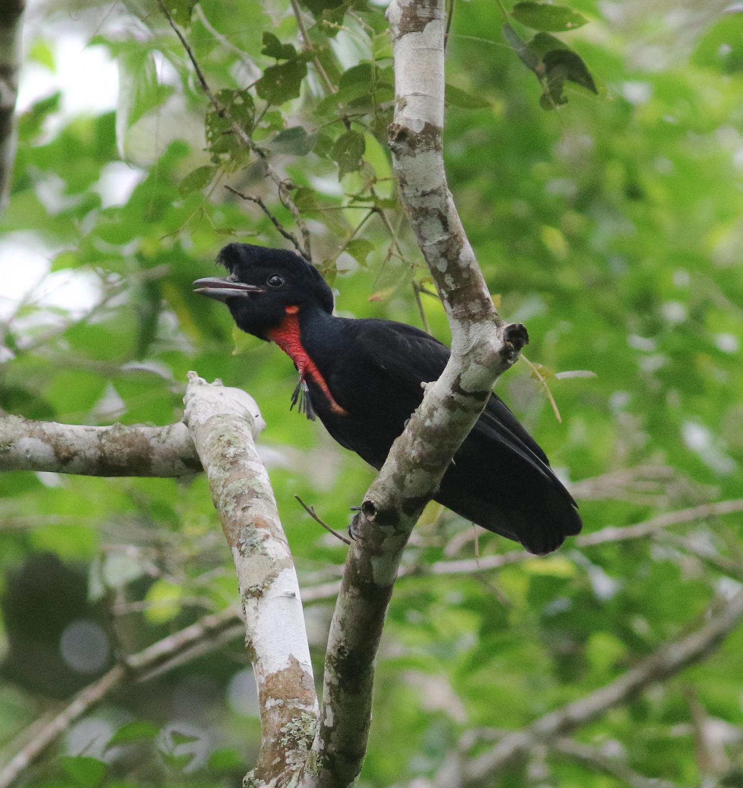 Bare-necked Umbrellabird Photo by Leonardo Garrigues