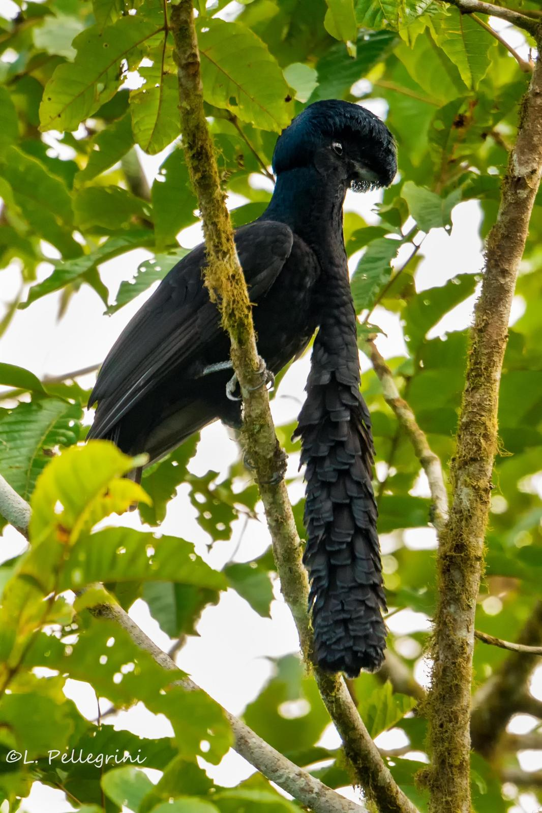 Long-wattled Umbrellabird Photo by Laurence Pellegrini