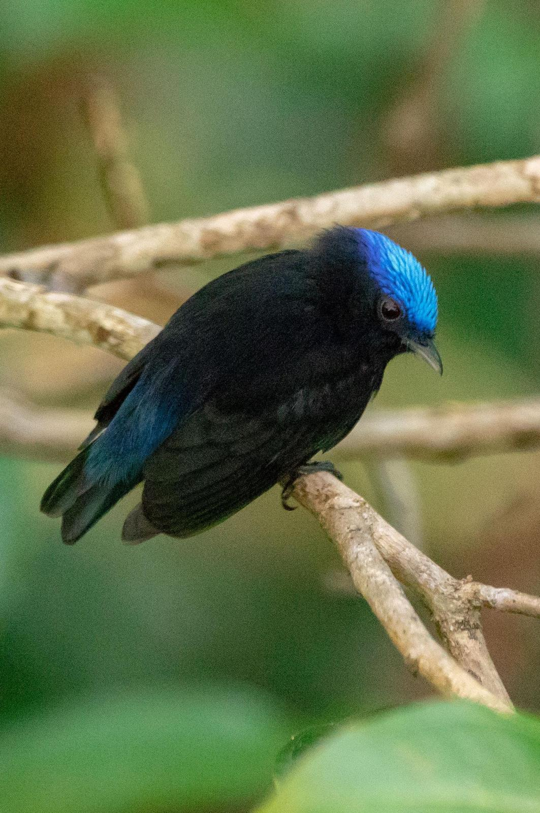Blue-crowned Manakin Photo by Phil Kahler