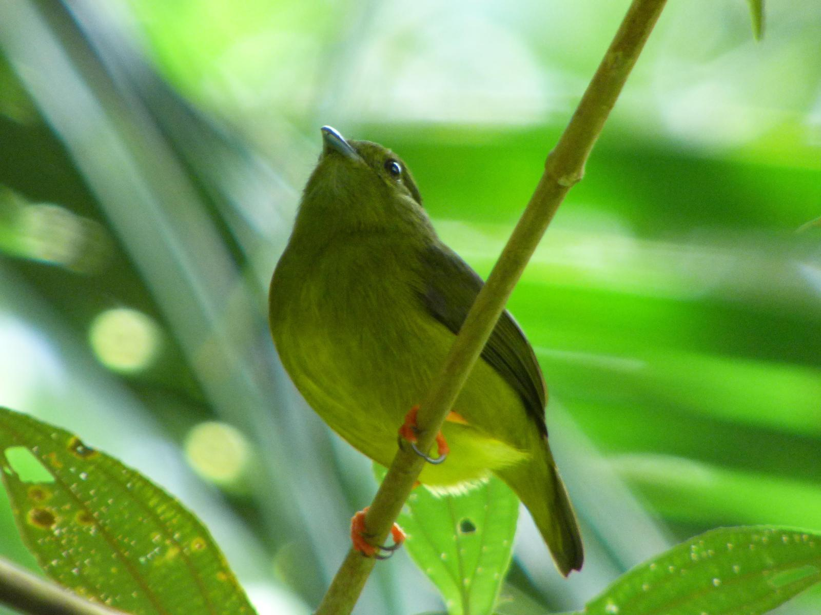 White-collared Manakin Photo by Phil Ryan
