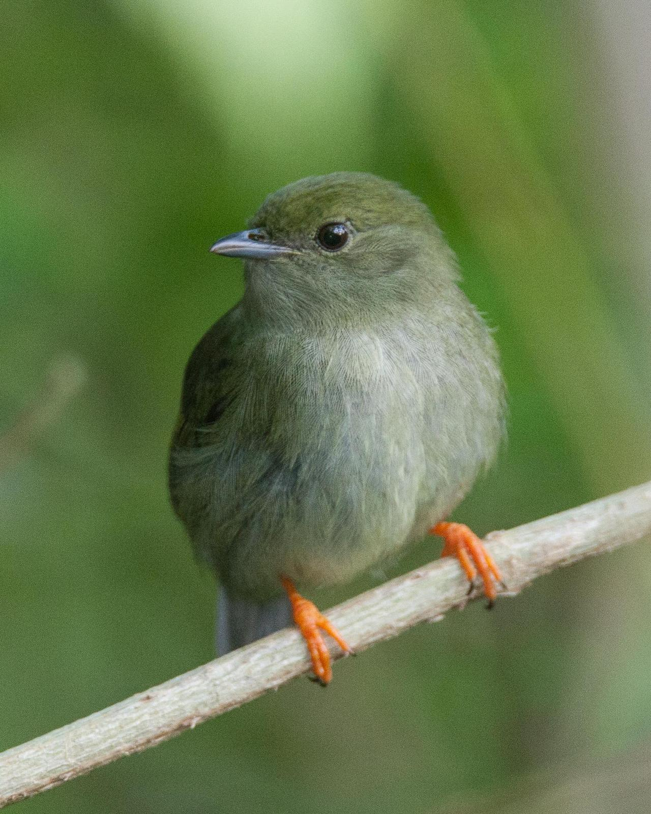 White-bearded Manakin Photo by Robert Lewis