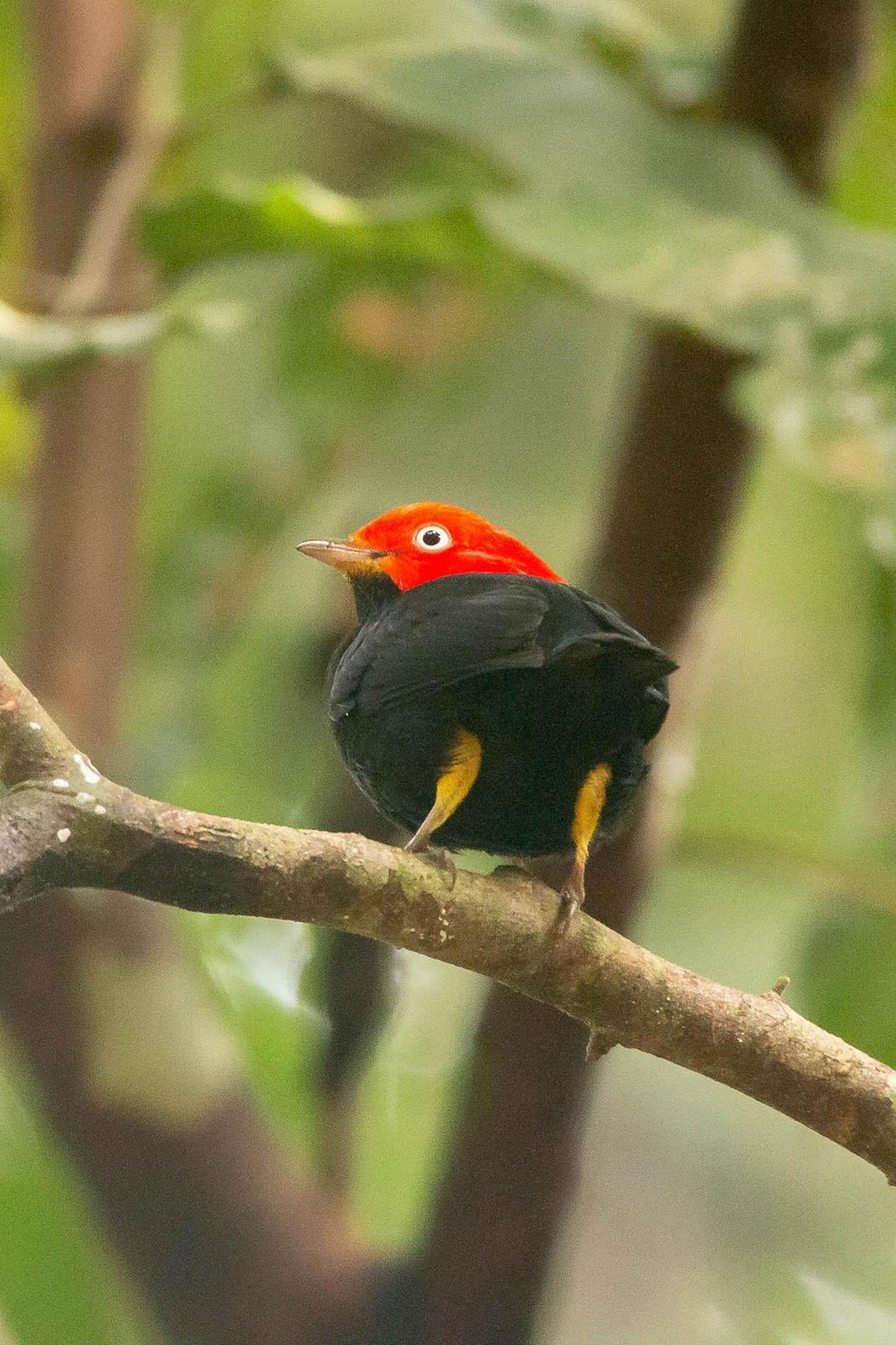 Red-capped Manakin Photo by Marie-France Rivard