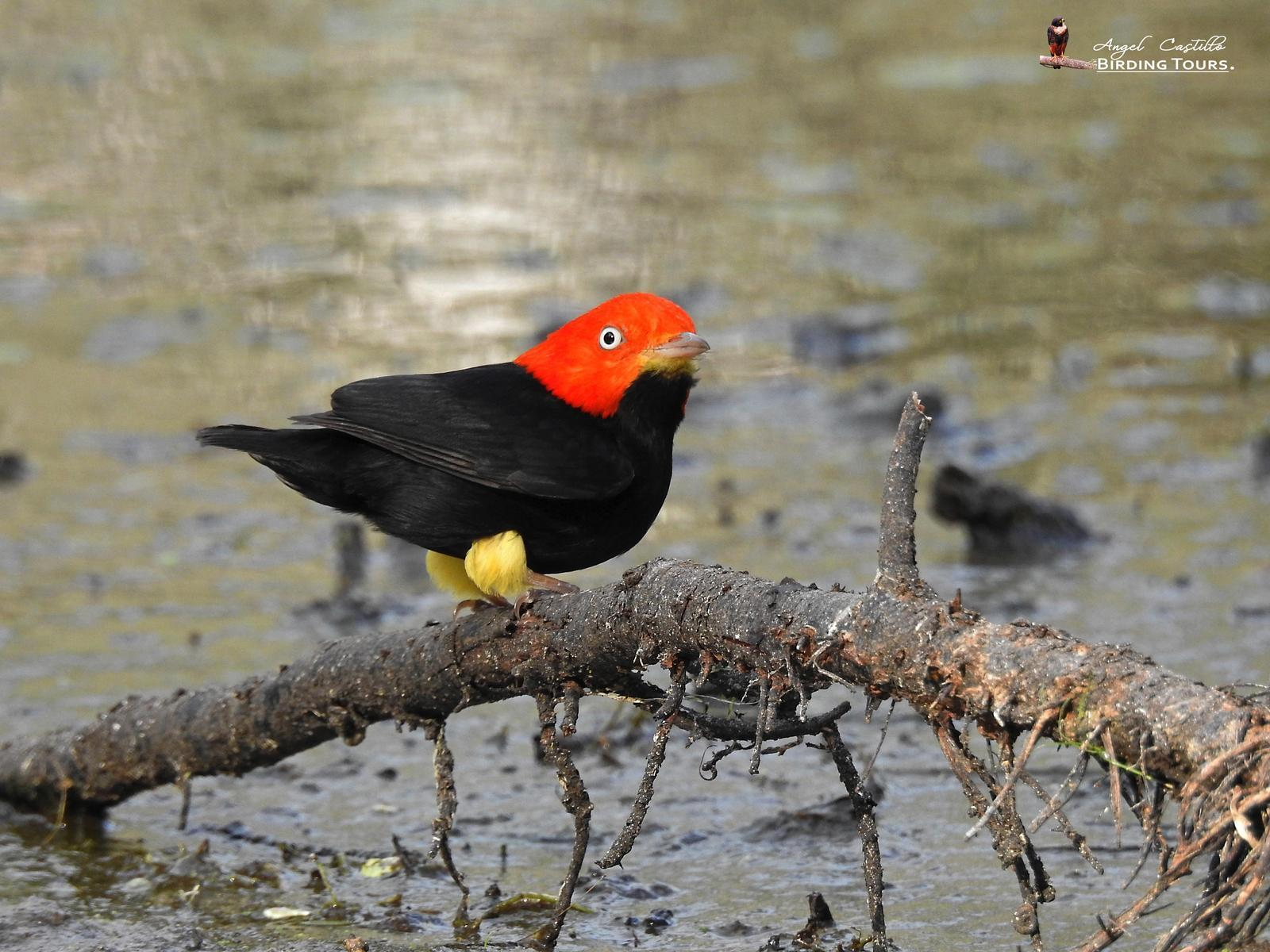 Red-capped Manakin Photo by Castillo Cime
