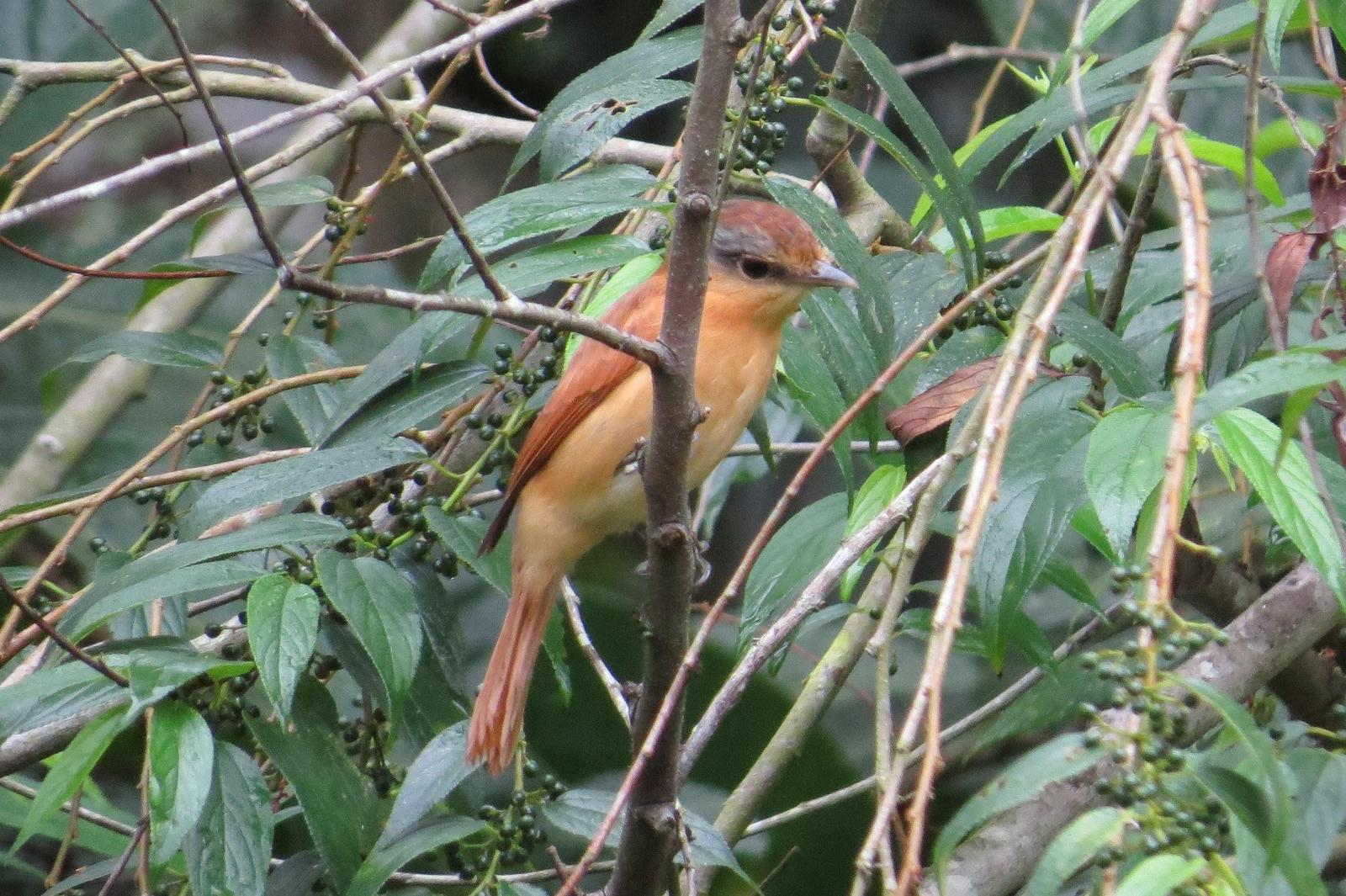 Chestnut-crowned Becard Photo by Jeff Harding