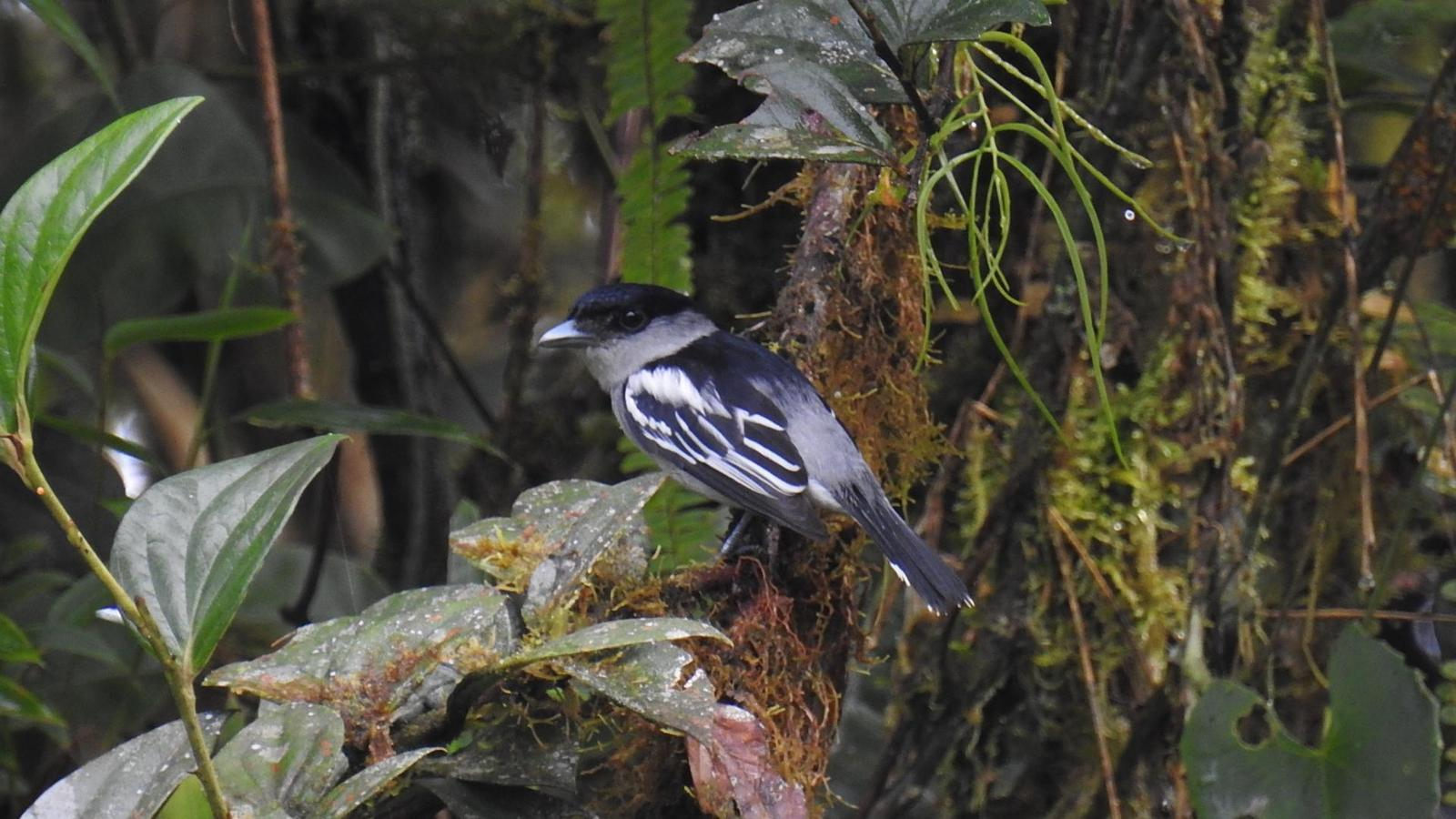 White-winged Becard Photo by Julio Delgado