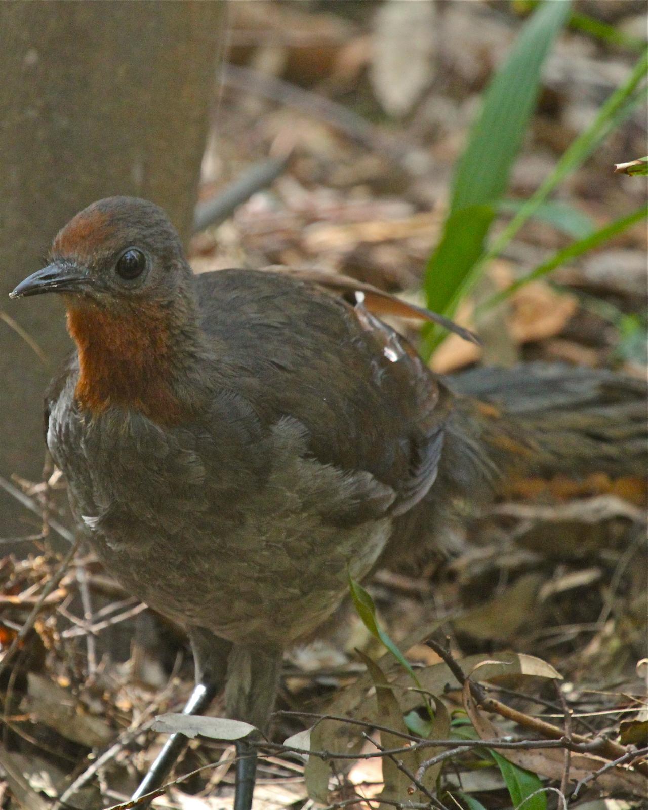 Superb Lyrebird Photo by R. Bruce Richardson