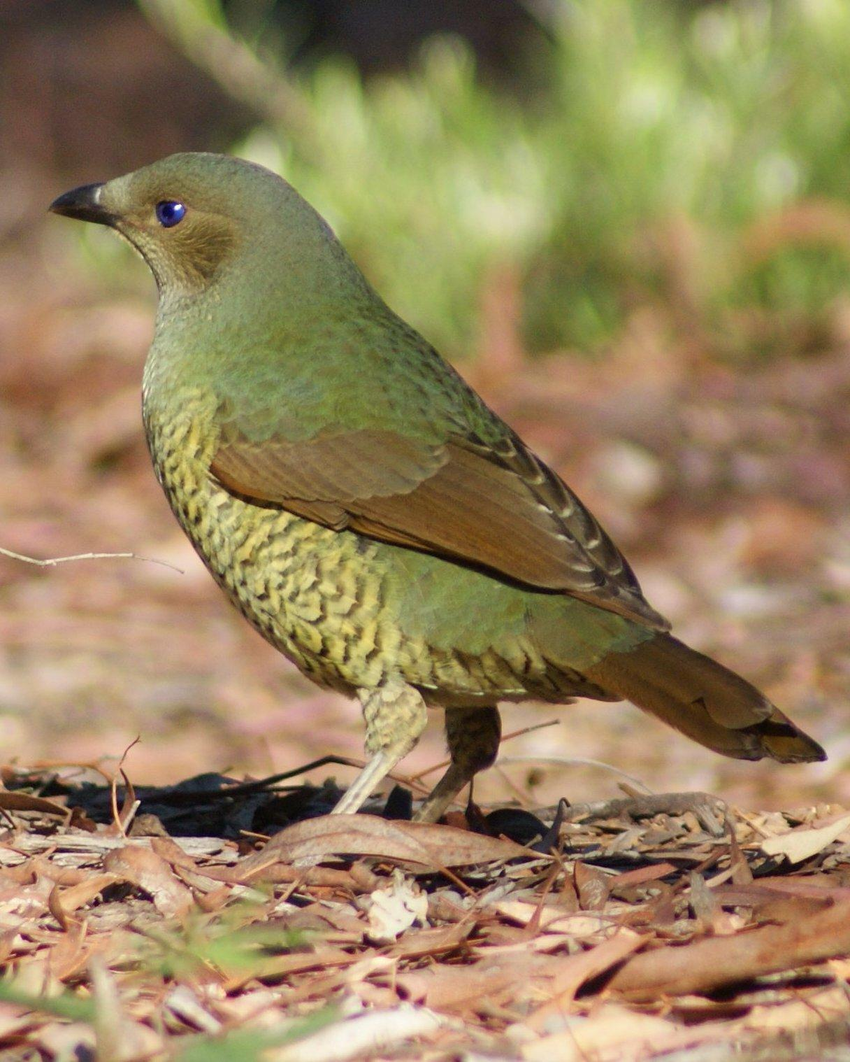 Satin Bowerbird Photo by Robin Oxley