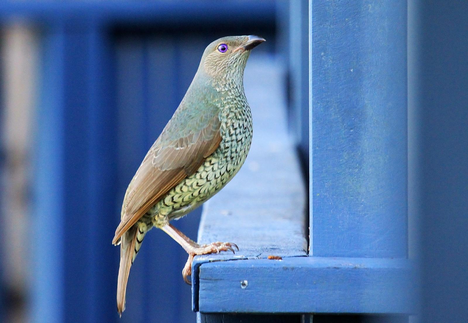 Satin Bowerbird Photo by Matthew McCluskey