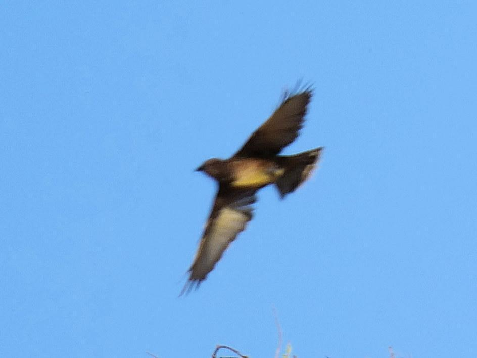 Western Bowerbird Photo by Peter Lowe