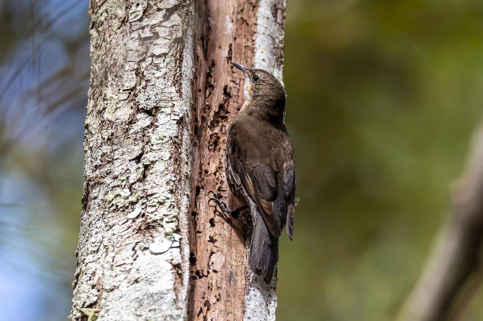 White-throated Treecreeper Photo by Gary Stephenson