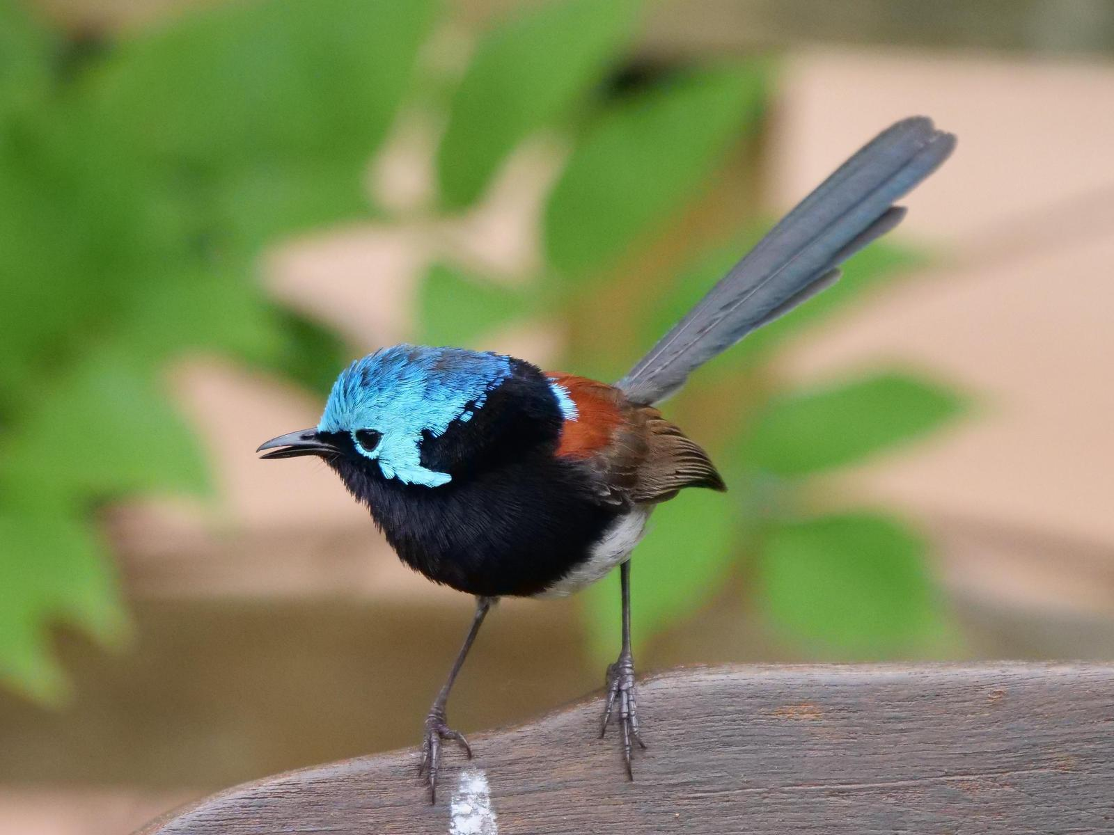 Red-winged Fairywren Photo by Peter Lowe
